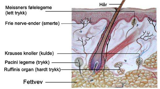 nerveender