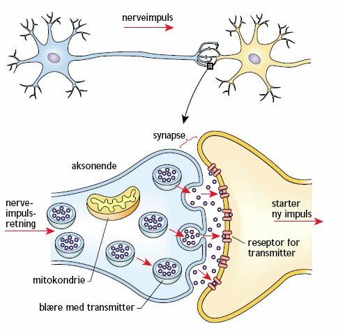Signalübertragung Zwischen Nervenzellen